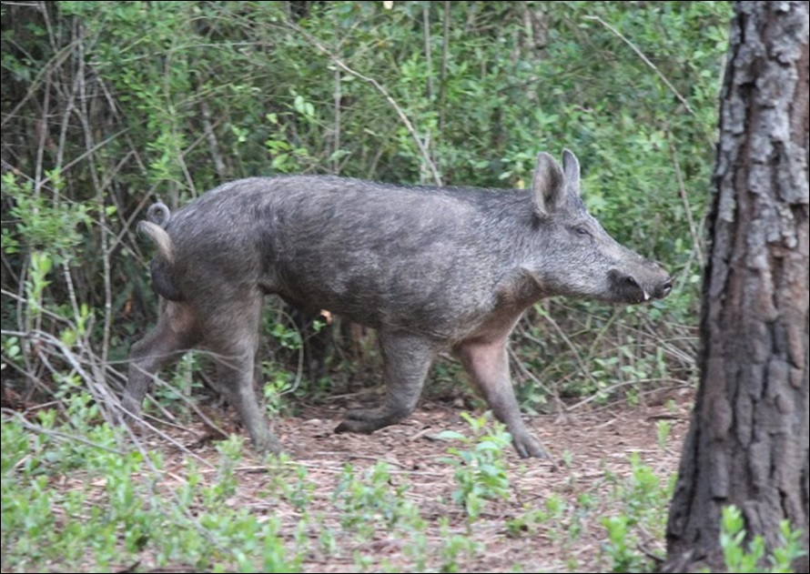 Guided Hunts at Swine In The Pines
