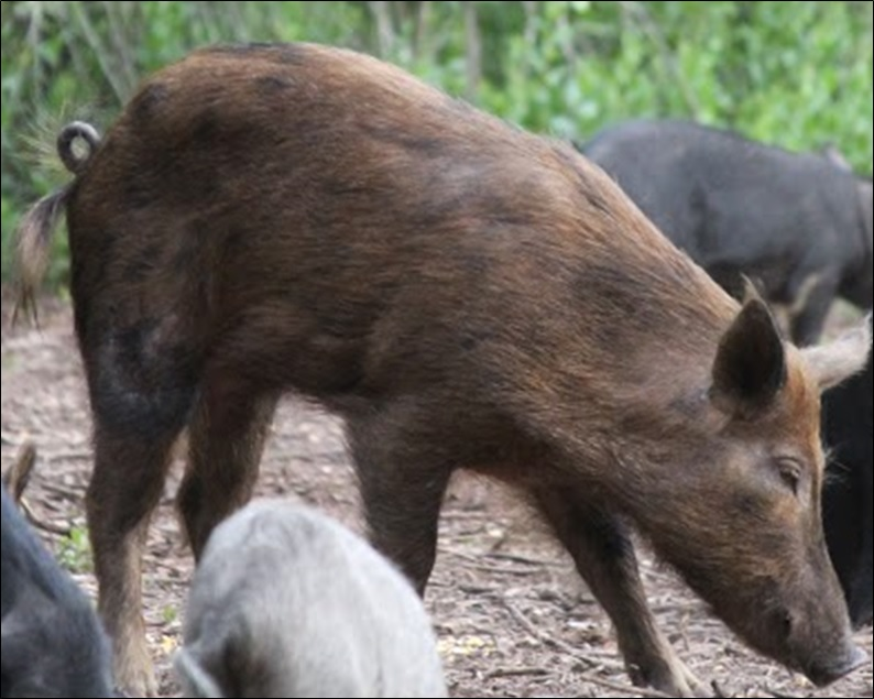 Wild boar hunting guides at Swine In The Pines