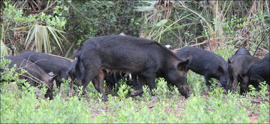 Hunting Wild Boar at Swine In The Pines Hog Hunting Camp