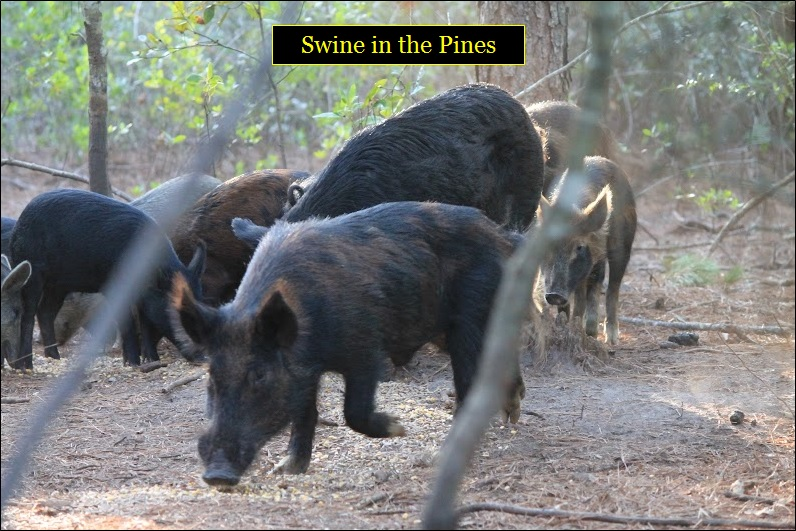Guided Hog Hunts at Swine In The Pines