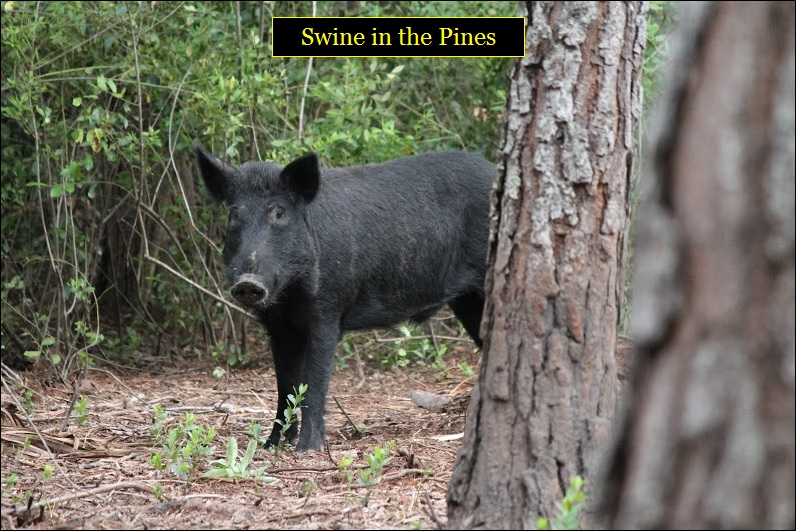 Hunting Hogs in Florida at Swine In The Pines