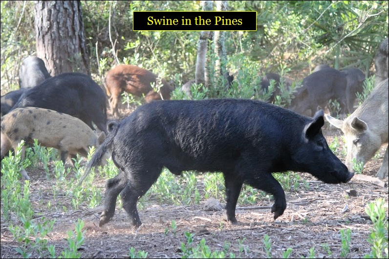 Bow Hunting for hogs at Swine In The Pines