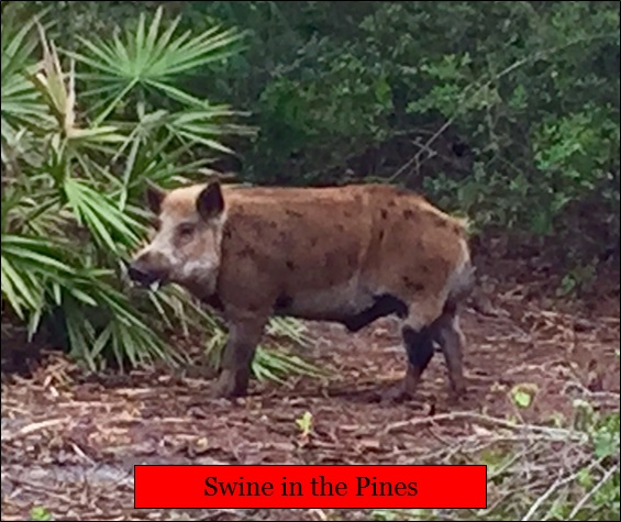 Hunting Wild Boar at Swine In The Pines