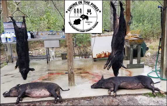 Shaun, Rob, Steven, & Chuck took these nice Piney Woods Rooters at Swine In The Pines Hog Hunting Camp in North Florida