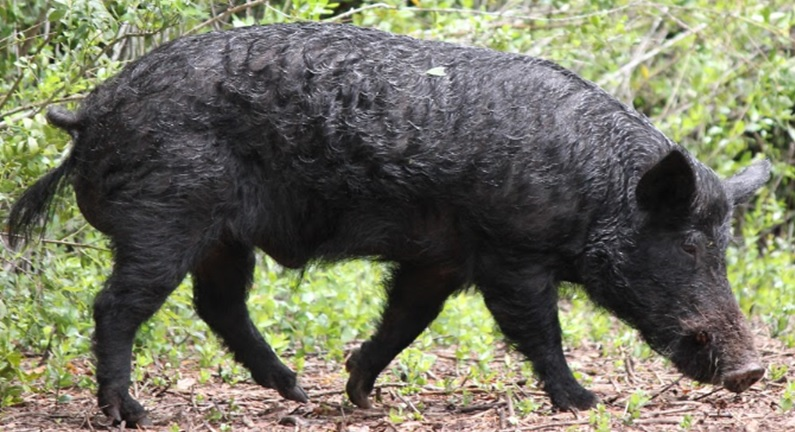 Guided Hunts - Stand & Still Hunts - Florida Wild Boar Hunts