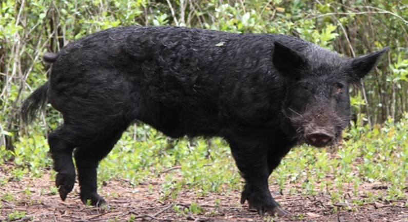 Florida Hog Hunting - Discounted rates for veterans, first-responders, children, and groups