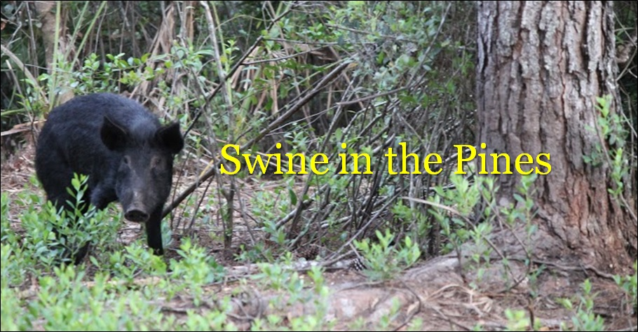 Guided Hog Hunts at Swine In The Pines Hog Hunting Camp