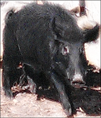 Guided Hunts - Swine In The Pines - Florida Wild Boar Hunts